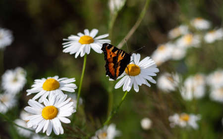 Bright colored beautiful butterfly sits on medicinal chamomile flower. Colorful summer photo with blurred background, closeup, macro shot. Moth and bunch of pharmaceutical daisies on green field.