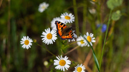 Bright colored beautiful butterfly with spread wings sits on medicinal chamomile flower. Colorful summer closeup photo. Orange moth and bunch of pharmaceutical daisies on green field. Banner web site