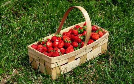 Wooden basket with handle, with red strawberries on background of green grass closeup. Juicy, fresh berries, picked in garden, lie in box on lawn. Colorful photo taken on sunny day in country
