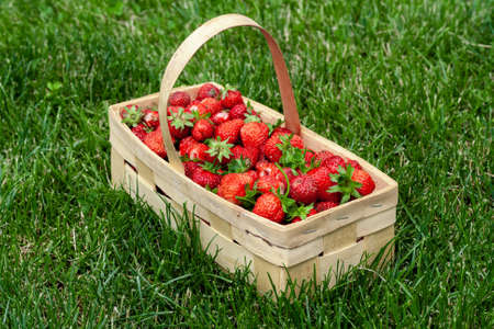 Wooden basket with handle, red strawberries on background of green grass closeup. Juicy, fresh berries, picked in garden, lie in box on lawn. Colorful photo taken on sunny day in country. Side view