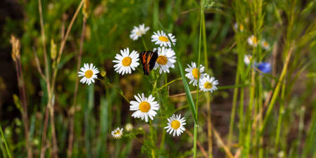Bright colored beautiful butterfly sits on medicinal chamomile flower. Colorful summer photo with blurred background. Moth and bunch of pharmaceutical daisies on green field. Banner web site
