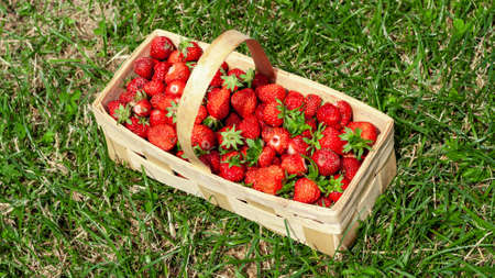 Wooden basket with handle, red strawberries on background of green grass closeup. Juicy, fresh berries, picked in garden, lie in box on lawn. Colorful photo taken on sunny day in country. Top view