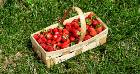 Wooden basket with handle, with red strawberries on background of green grass closeup. Juicy, fresh berries, picked in garden, lie in box on lawn. Colorful photo taken on sunny day in country. Banner