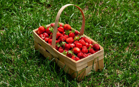 Wooden basket with handle, red strawberries on background of green grass closeup. Juicy, fresh berries, picked in garden, lie in box on lawn. Colorful photo taken on sunny day in country Side view