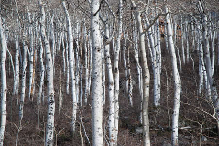 Aspen Tree Stand in Winter photo