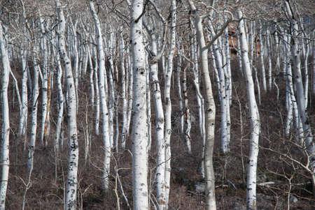 white winter: Aspen Tree Stand in Winter Stock Photo