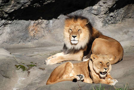 roar: Male and Female Lions Basking in the Sun