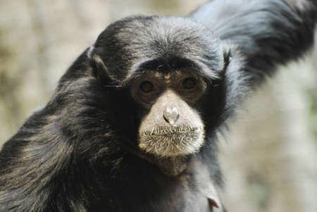 Monkey with a Hairdo, closeup photo