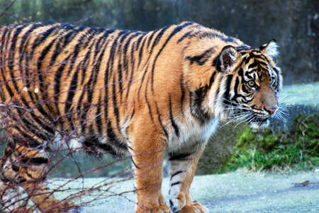 Intense Staring Tiger