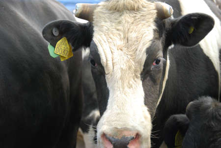 penned: Cow Face Close Up  Stock Photo