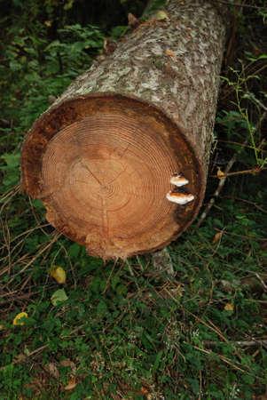 Frisch geschnittenen Baumstamm mit Pilzwachstum