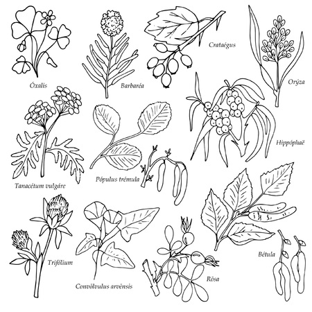 set of field plants with latin names, hand drawing style, vector illustration, outline on white