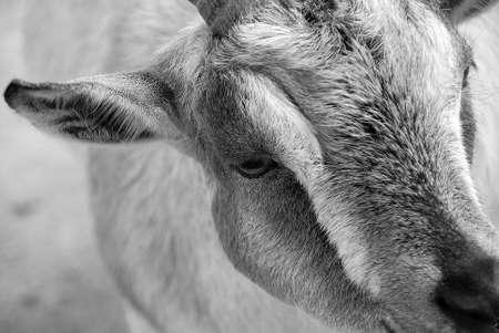 pygmy goat: Portrait of an African pygmy goat