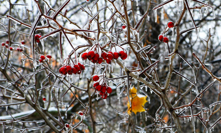 Ice-glazed red berries and leaves on a winter background