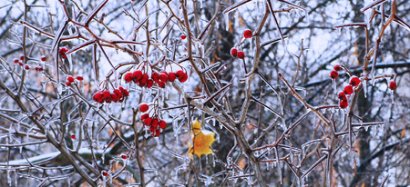 Ice-glazed red berries on thorny bush