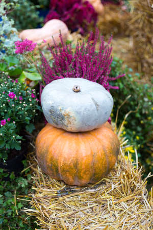 Autumn flower composition with orange and blue pumpkins. Fall decoration for thanksgiving. Two squash on the straw. Vegetables close up.