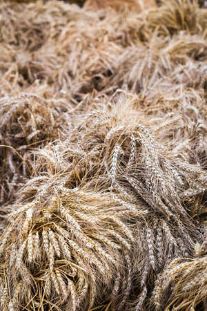 Ripe ears of grain in the field. Harvesting a new crop. Wheat close up. The natural background Reklamní fotografie