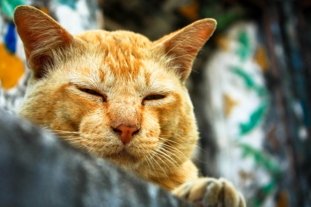 Cat sleep on the wall of the watarun temple thailand