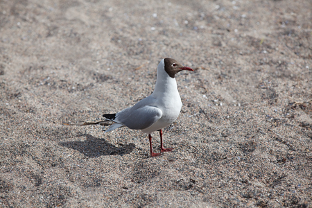 Rare gull from north of Europe