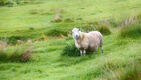 Sheep grazing in green meadows Banco de Imagens