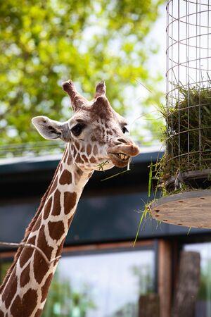 giraffe in a zoo, Vienna Austria