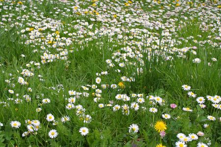 Field of many daisy flower Stock Photo - 867130