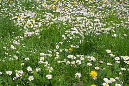 Field of many daisy flower Stock Photo - 867130