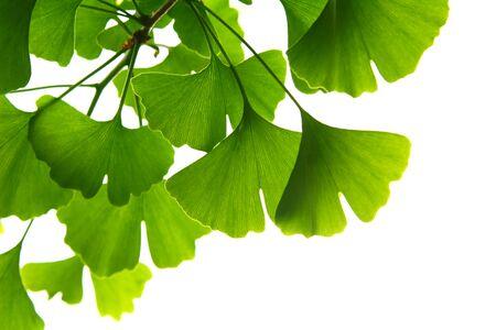 Ginkgo biloba groene bladeren aan een boom. Ginkgo Biloba-boombladeren op lichte hemel.