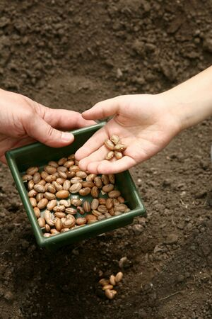 A mans hand holds a bowl of beans. Kids hands planted brown beans in a hole in the ground.