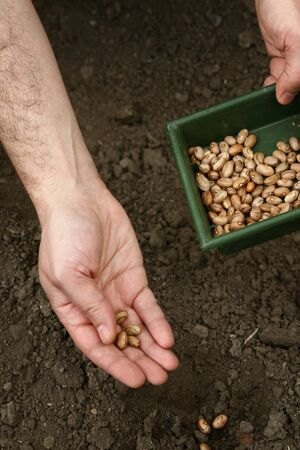 A mans hands plant brown beans in the ground. Planting beans.