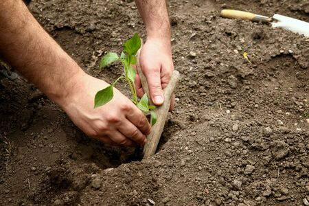 Mans hands planted a young plant of pepper in the ground. Planting pepper seedlings. Making a hole in the ground to plant paprika seedling