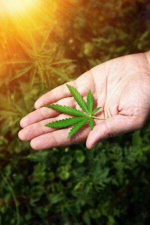 Close-up Hands of man holding leafs of hemp plant. Legalization of cannabis, marijuana, herbs. A leaf of marijuana in the hand.