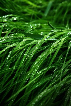 A macro shot of green grass covered with dew drops in the spring. Green meadow with fresh wet grass.