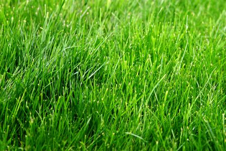 Macro shot of bright green grass sprouts in spring. Green meadow of closeup fresh grass.