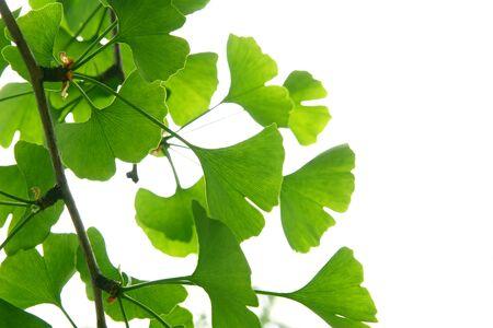 Ginkgo biloba green leaves on a tree. Ginkgo Biloba Tree Leaves on light sky. Stock Photo