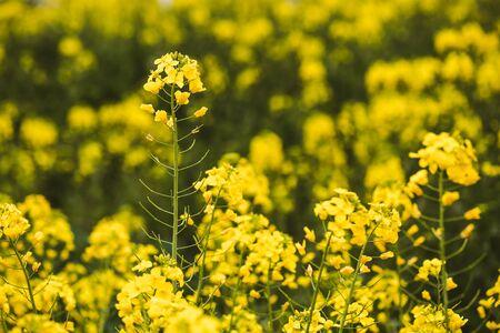 Detail of flowering rapeseed Stok Fotoğraf