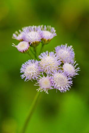 Billygoat Weed Flower