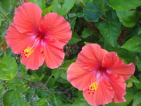 A pair of red hibiscus
