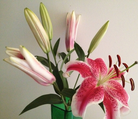 Starfire Lily and buds