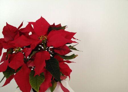 Red Poinsettia Plant photo
