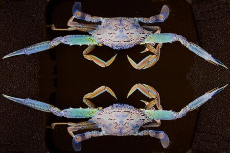 blue swimmer crab: Surreal abstract Blue Swimmer Crab.