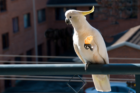 baranda para balcon: Australian Sulphur-crested Cockatoo (Cacatua galerita), eating a crackerbiscuit standing on a balcony rail. Gosford, New South Wales, Australia. photograph by Geoff Childs.cockatoo, bird, animal, daytime, cracker, biscuit, eating, feeding, no people, Sul