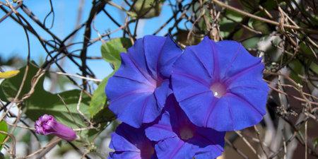 Pretty Purple Morning Glory flowers closeup, Ipomoea purpurea, climbing flower in full bloom under a bright blue sky. Beauty in nature image. Australia.