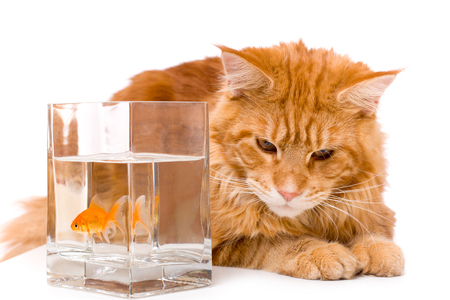 9 months old: Cat and a gold fish, maine coon kitten 9 months old, isolated over white