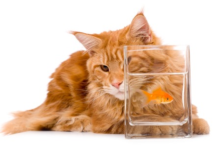 9 months: Cat and a gold fish, maine coon kitten 9 months old, isolated over white