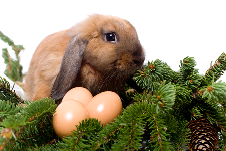 lop lop rabbit white: Lop-eared rabbit sitting in branches of fir-tree near three eggs