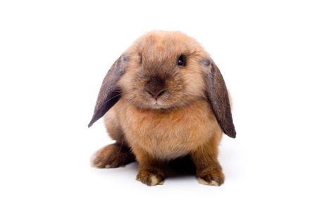 eared: Pretty little lop-eared rabbit, isolated over white Stock Photo