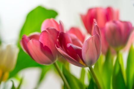 A bouquet of pink tulips surrounded by green leaves. Bright white background.
