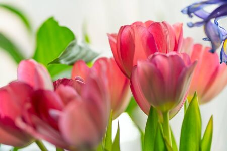 Flower arrangement of pink tulips, iris and greenery. Bright glowing background.