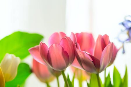 Composition of spring flowers. Pink and yellow tulips, irises, green leaves on a light background. Close up view.